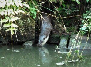 otter, canal, british wildlife, northamptonshire, summer adventure