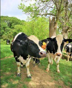 cows, canal, bridge 51, grand union, uk canal,